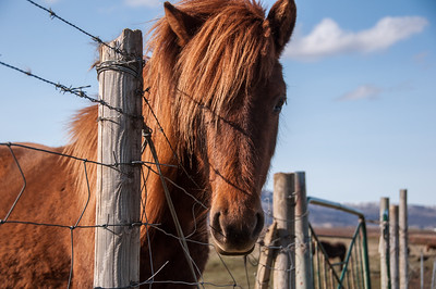 2016.05.21 - Reykjavik, Iceland. Horses gathered along a fence line.