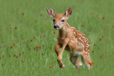Fawn Leaping (Captive)