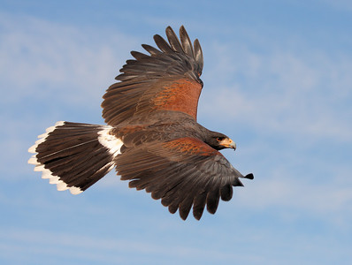 A Harris Hawk in Flight - Arizona Desert 2008