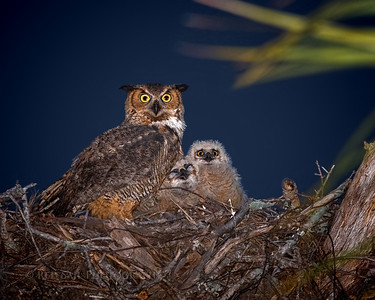 """Great Horned Owl Family"""