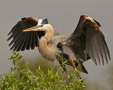 Great Blue Heron takeoff!