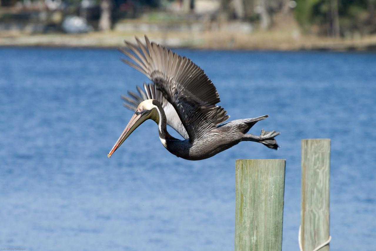 Brown Pelican having fun!