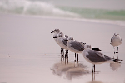 Laughing gulls getting in line for inspection.