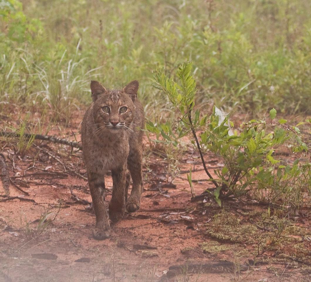 Bobcat in Heath, Alabama