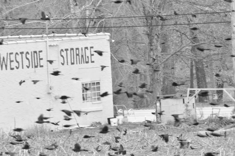 Blackbirds on Highway 64, Middle Tennessee