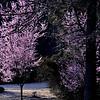 Spring colors, River Oaks area, Memphis