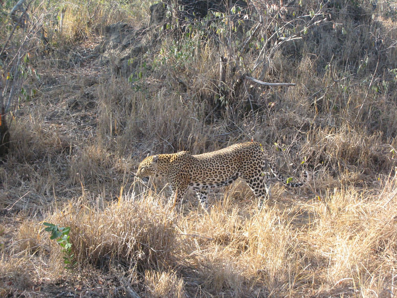 Laurie Sees the Leopard