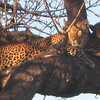 Lazy Leopards - Almi