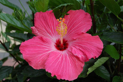 Hibiscus Crystal City, VA