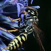 Polistes dominula - European paper wasp