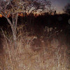 Leopard at Night - McLaughlin
