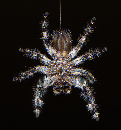 Jumping Spider. It's fangs are visible if you look closely at one of the larger sizes.