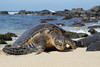 Hawaiian Green Turtle (Chelonia mydas), coming out of the water to bask in the sun