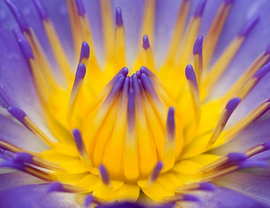 Blue capensis water lily
