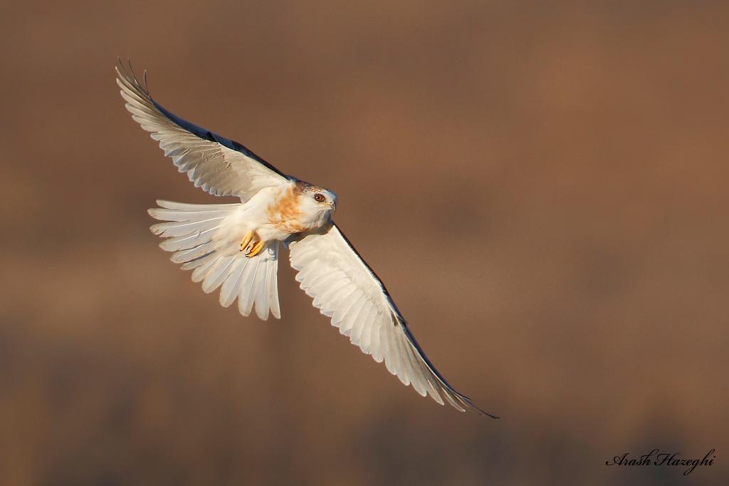 Juvenile White-tailed Kite.