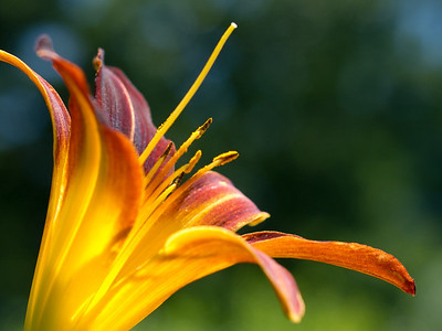 Day Lily, N. Windham, ME