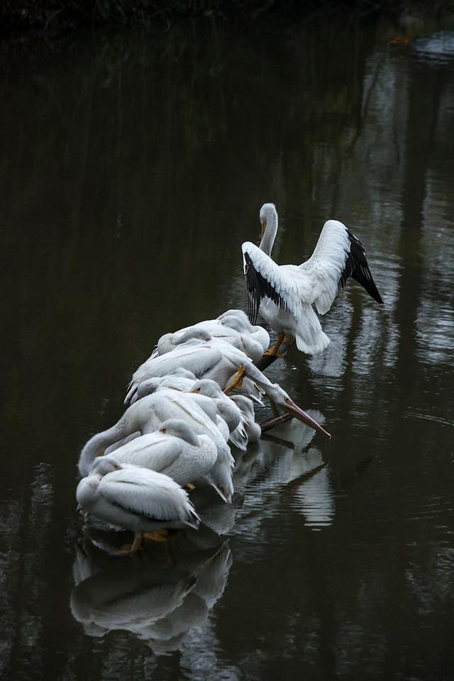 Pelicans on University Lake