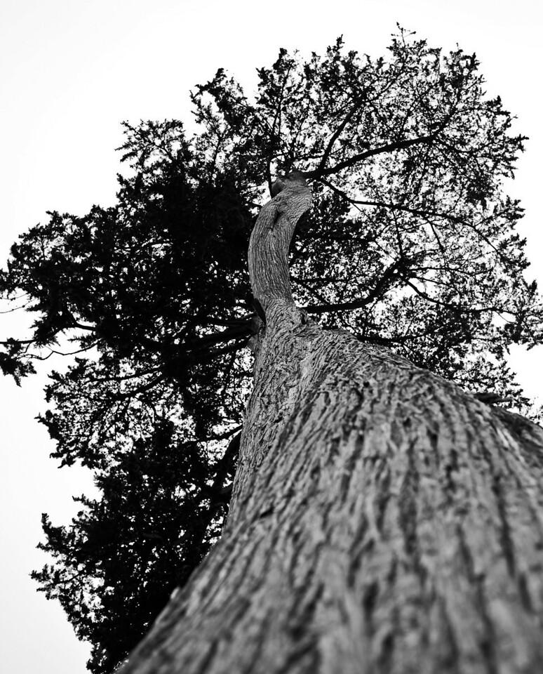 Cali Cypress