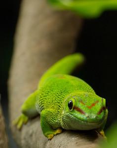 Giant Day Gecko II