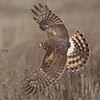 Juvenile Northern Harrier in habitat, (c)2010 Arash Hazeghi, all rights reserved.