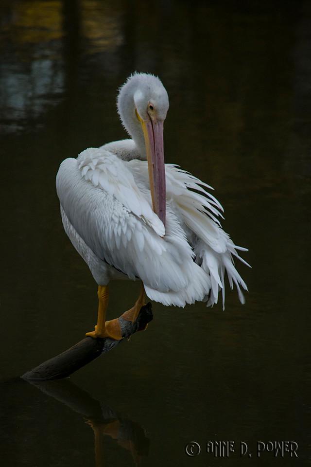 Pelican on University Lake