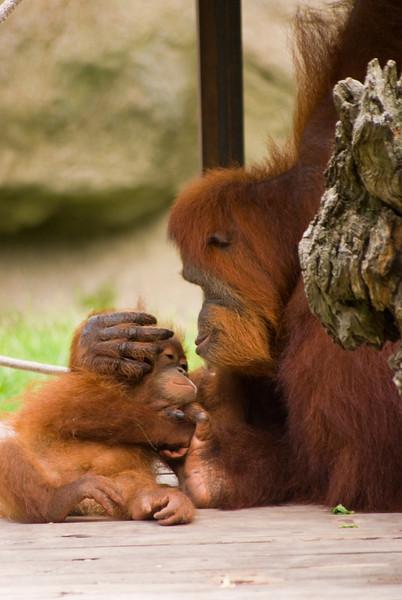 Sumatran Orangutans, Audubon Zoo, New Orleans