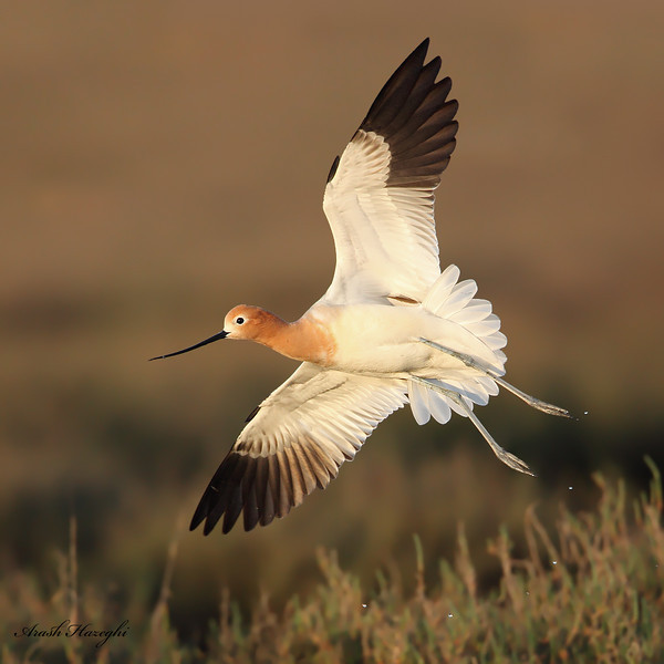 American Avocet in breeding plumage, EOS 5D MKII, ISO 1600.