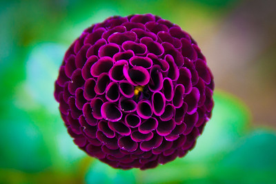 Purple Dahlia, Planting Fields