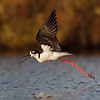 Black-necked stilt taking off. (C) 2010 Arash Hazeghi.