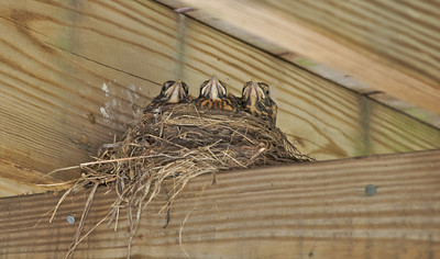 Directly under my seat on the deck - these baby robins were growing fast.