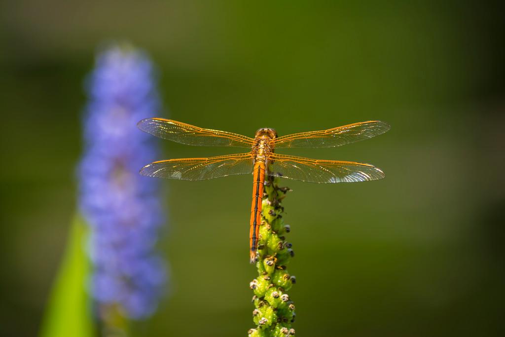 Flame Skimmer or Firecracker Skimmer (Libellula saturata) dragonfly