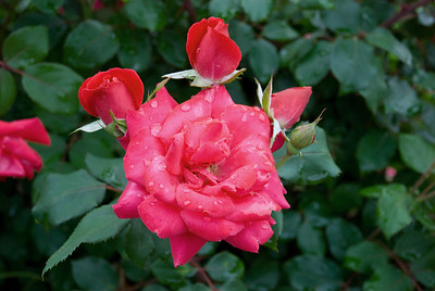 A rose from the garden - yes it was a rainy day.