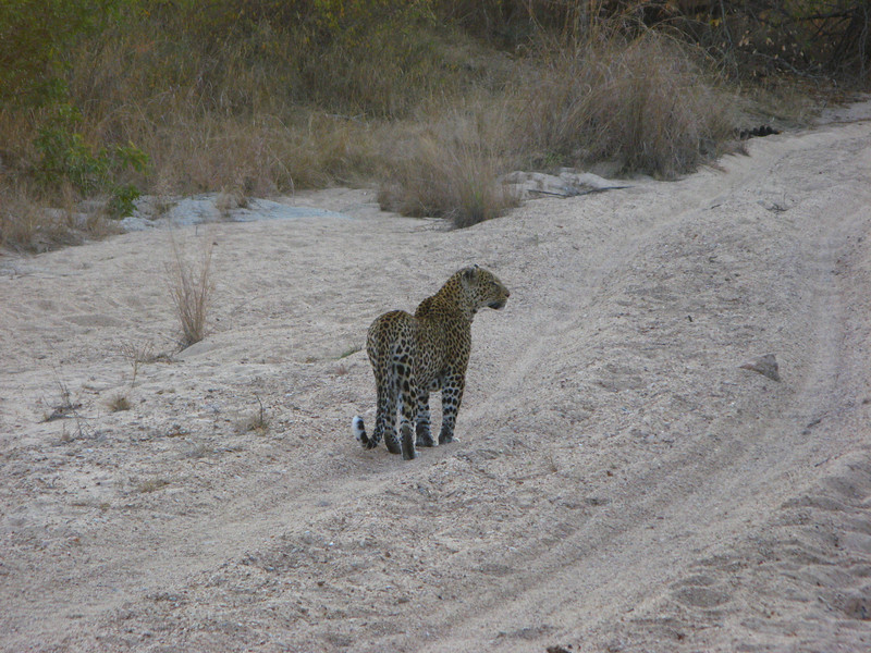 Leopard Heading Home