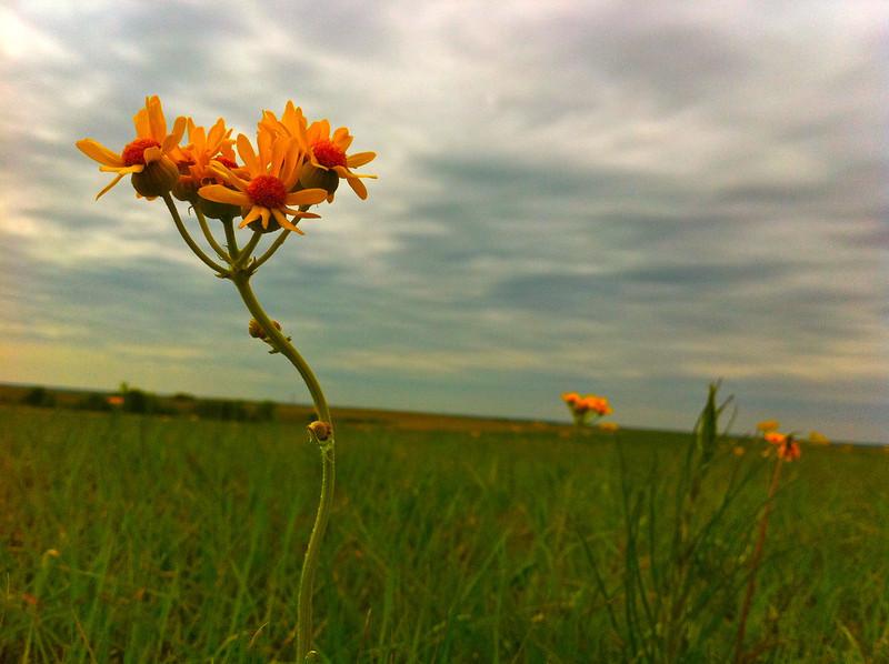 Prairie flowers - 1