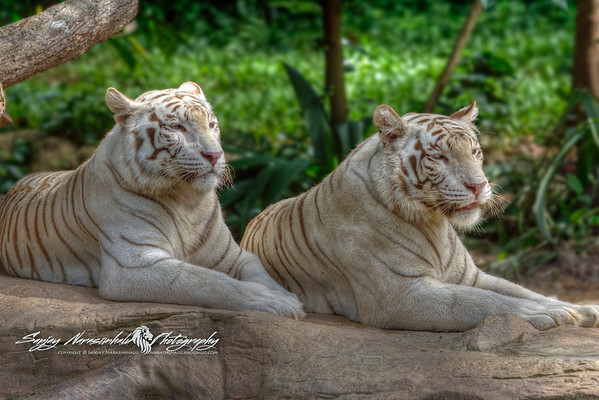 Pair of Albino Tigers at the Singapore Zoo, Singapore December 19, 2004