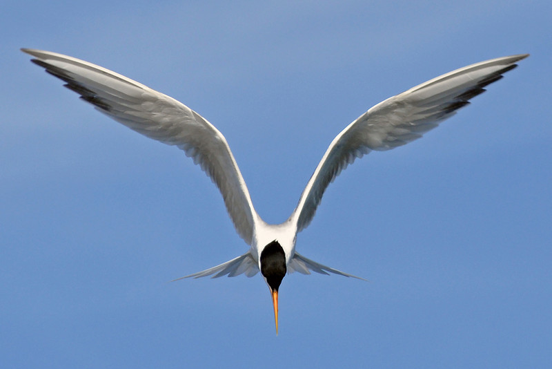 Symmetry - <br /> <br /> Least Tern