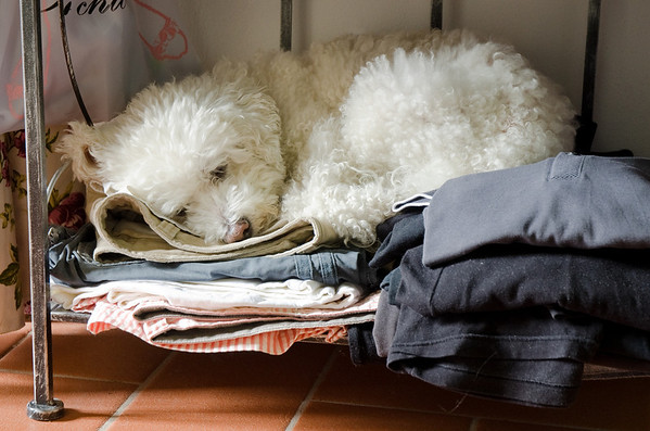 Daisy asleep on my clothes in the cottage - Tuscany 2011