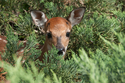 Fawn, very young