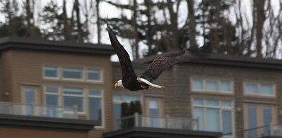 Bald eagle in flight.  A local resident in Edmonds WA.