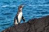 Galapagos Penguin Climbing Lava Rocks
