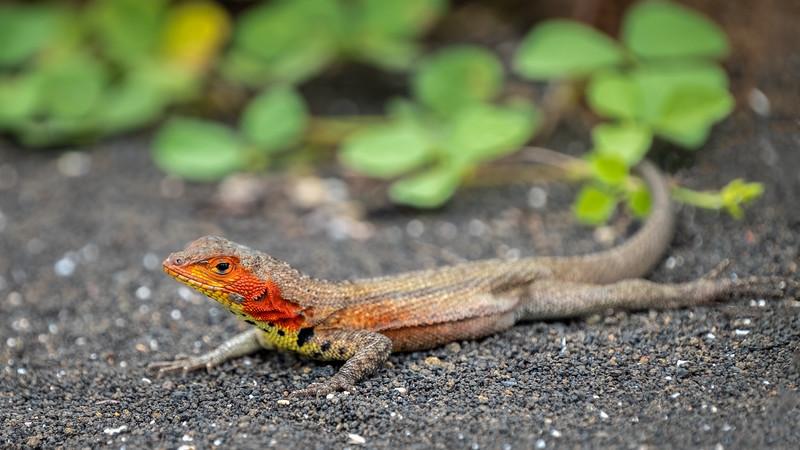 Lava Lizard Portrait