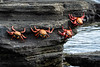 Sally Lightfoot Crabs Hanging Around