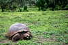 Giant Tortoise Feeding