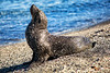 Sandy Sea Lion