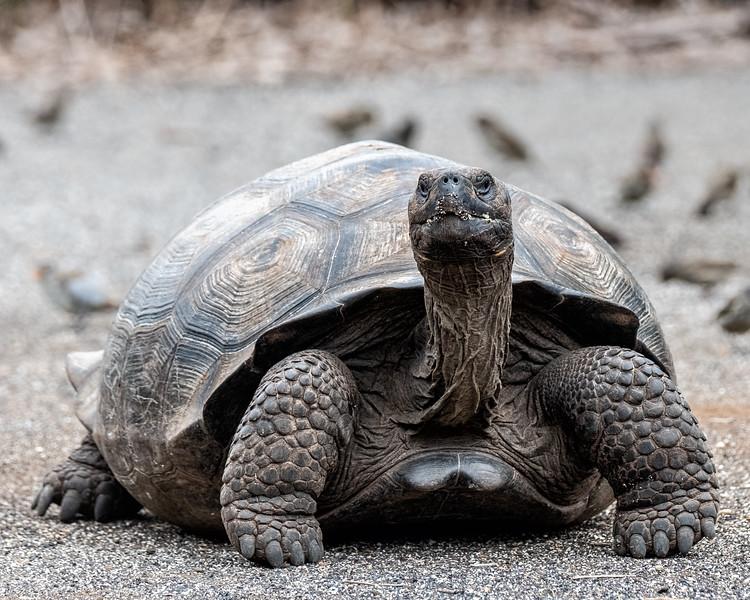 Tortoise Looking