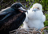 Frigate Bird Father and Chick
