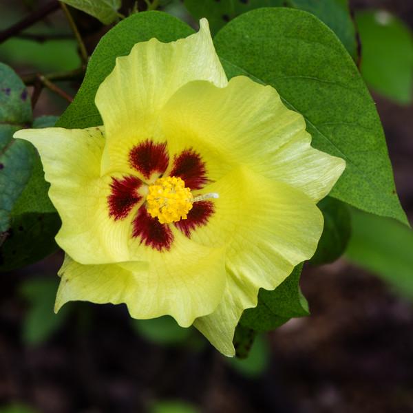 Galapagos Cotton Flower