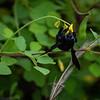 Galapagos Carpenter Bee