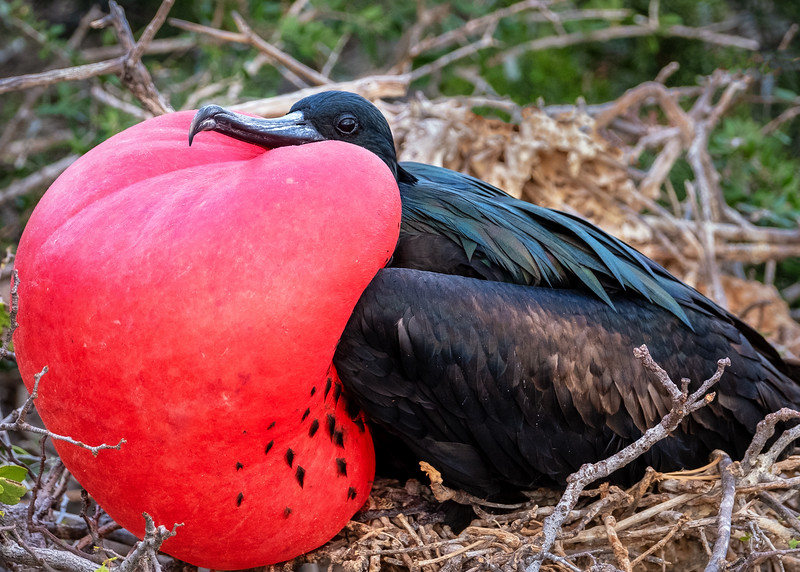 Frigate Bird Flirtation
