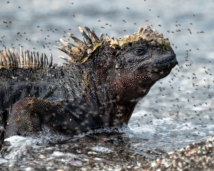 Marine Iguana Surfacing